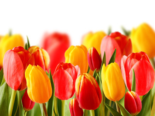 beautiful colored tulips