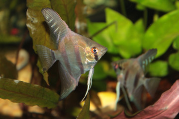 Altum Angelfish - freshwater aquarium fish