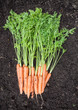 Freshly Harvested Carrots