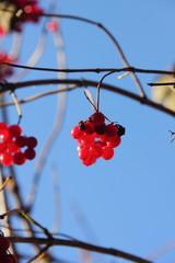 Kalina. Berries.