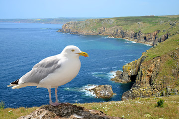 Seagull,in the background Land's end, Cornwall. England