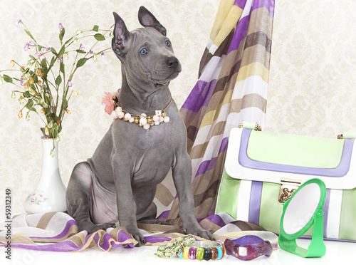 Thai ridgeback puppy with female accessories