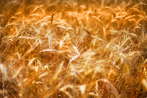 Leinwandbild Motiv Golden wheats