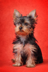 Yorkshire Terrier puppy on red background