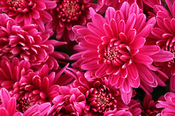 Bouquet of pink autumn chrysanthemum, close up