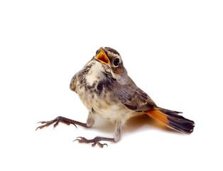 blue-throated robin bird isolated