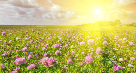 sun above large pink clovers meadow