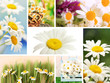 Collage of beautiful wild camomiles