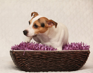 Cute jack russell terrier lying on purple blanket in basket