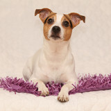 Cute jack russell terrier lying on purple blanket