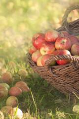 Biologische, sonnengereifte Äpfel im Weidenkorb