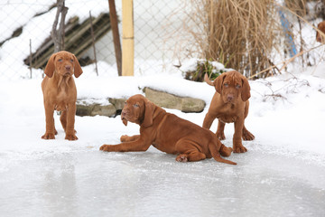 Puppies of Hungarian Short-haired Pointing Dog on frozen lake