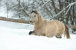 Adorable and cute bay pony running in winter