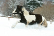 Amazing young irish cob running in winte