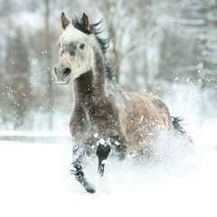 Gorgeous arabian horse running in winter