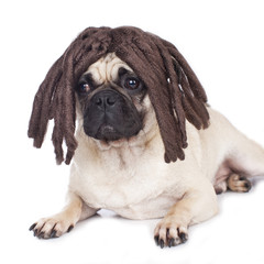 Mops mit Perücke - pug with wig
