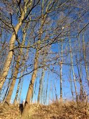 Hochformatige Aufnahme von kahlen Bäumen vor blauem Himmel