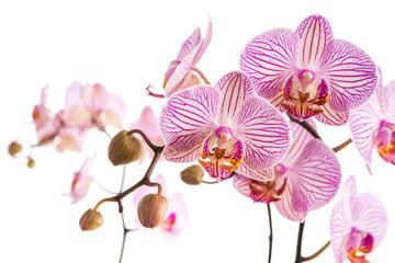 Orchideernrispen