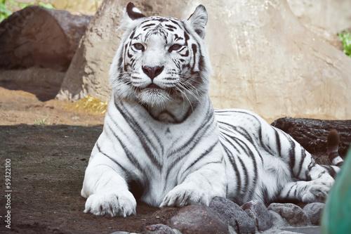 White Tiger © Sailorr