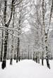 Birch grove in russian winter