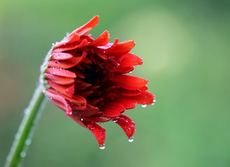 Rain soaked blooming Gerbera