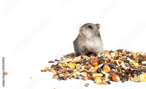 Djungarian Hamster eating