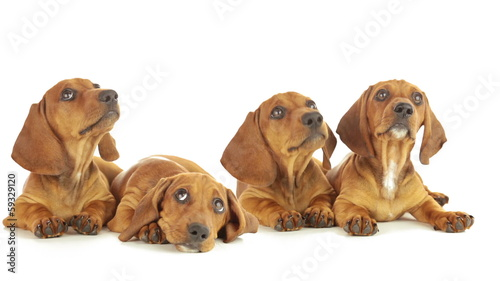 Four dachshund puppy