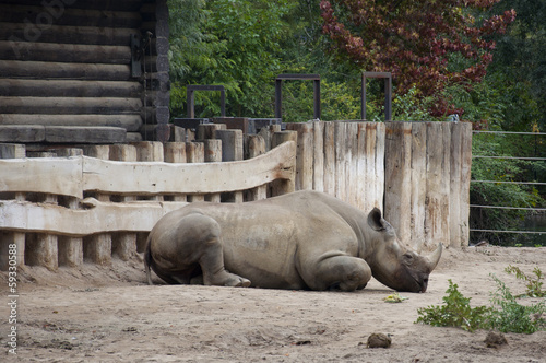 A Rhinoceros (Rhino) at a Zoo