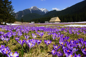 Crocuses in Chocholowska valley, Tatras Mountain, Poland