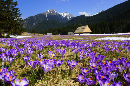Crocuses in Chocholowska valley, Tatras Mountain, Poland - 59331169