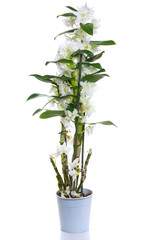 white dendrobium nobile flowers in pot