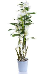 white dendrobium nobile flowers in pot