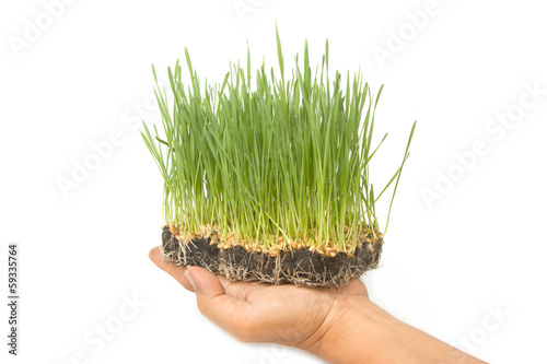 Green Wheat sprouts in man's  hands