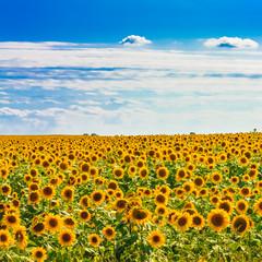 Sun flowers Field Against A Blue Sky