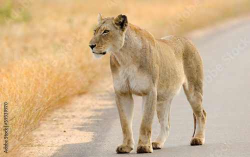 Lion on the Road, Kruger National Park, South Africa