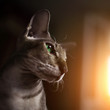 Portrait of sphynx cat in dark room, closeup.