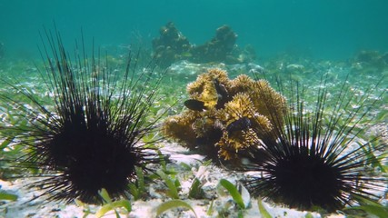 Sea urchins and coral reef