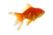Leinwandbild Motiv Red fish on white a