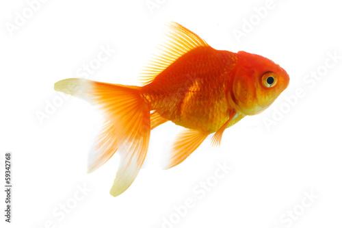 Fototapeta Red fish on white a