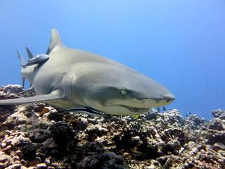 Lemon shark, scuba diving Tahiti