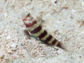 Gorgeous prawn-goby