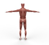 Musculature Back View poster