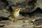 Puff-throated babbler at Kengkrajarn national park