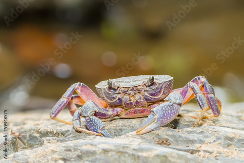 River crab in nature for background use