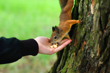 Squirrel eating in the hand