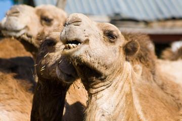 Riding camels in Maralal, Kenya
