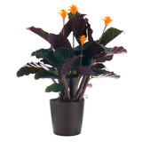 Eternal flame flower (calathea crocata)