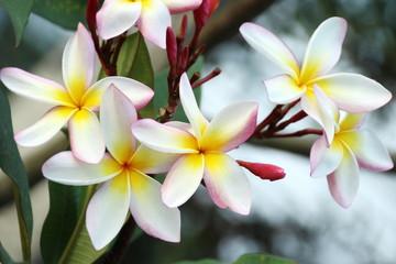 Frangipani or Plumeria