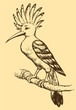 "Vector drawing of a series of sketches ""Birds"". Hoopoe"