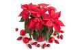 Weihnachtsstern weihnachtlich dekoriert
